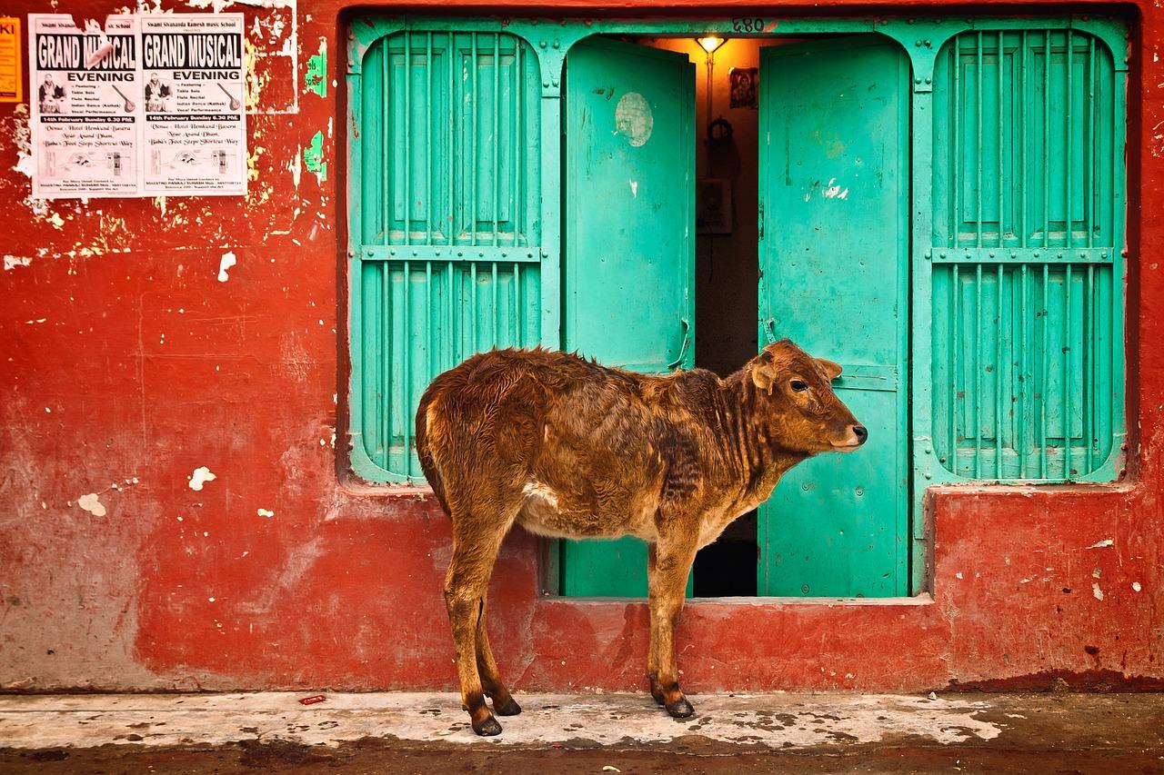boeuf sacré - voyage en Inde