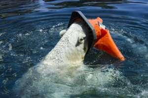 Ours marin piégé par un déchet plastique